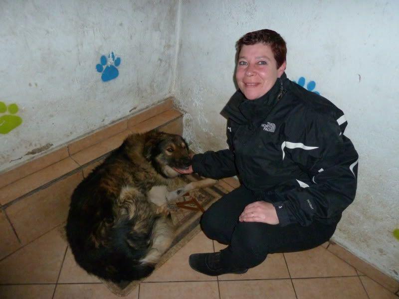 Ringo, mâle, né en 2010, type berger allemand , le chien miracle... ADOPTE ! F44dcb47