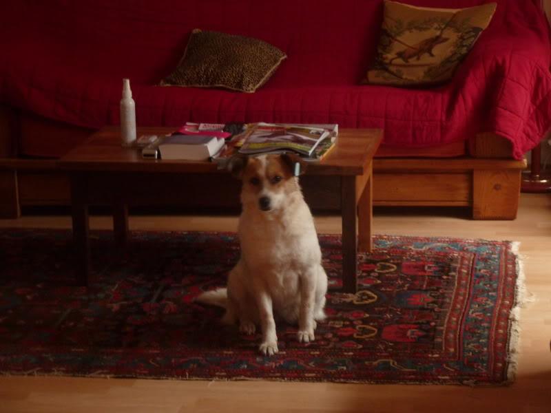 Carla, petite chienne, 1 an et demi  F6565d94