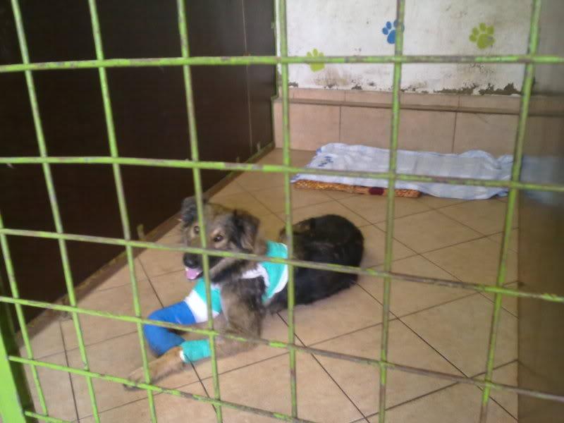 Ringo, mâle, né en 2010, type berger allemand , le chien miracle... ADOPTE ! F940d88c
