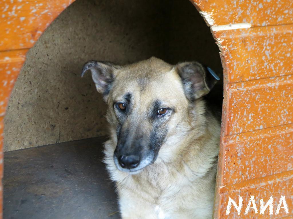 Nana, mère des chiots des ruines, 6 ans - Adoptée ! Nana2_zps7b7ea3f0