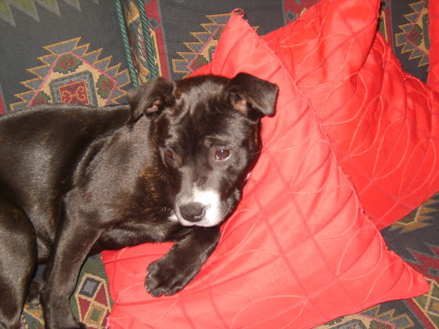 Gucci a 4 mth old Staffy fostered by Four Paws Animal Rescue (South Wales) S8000334