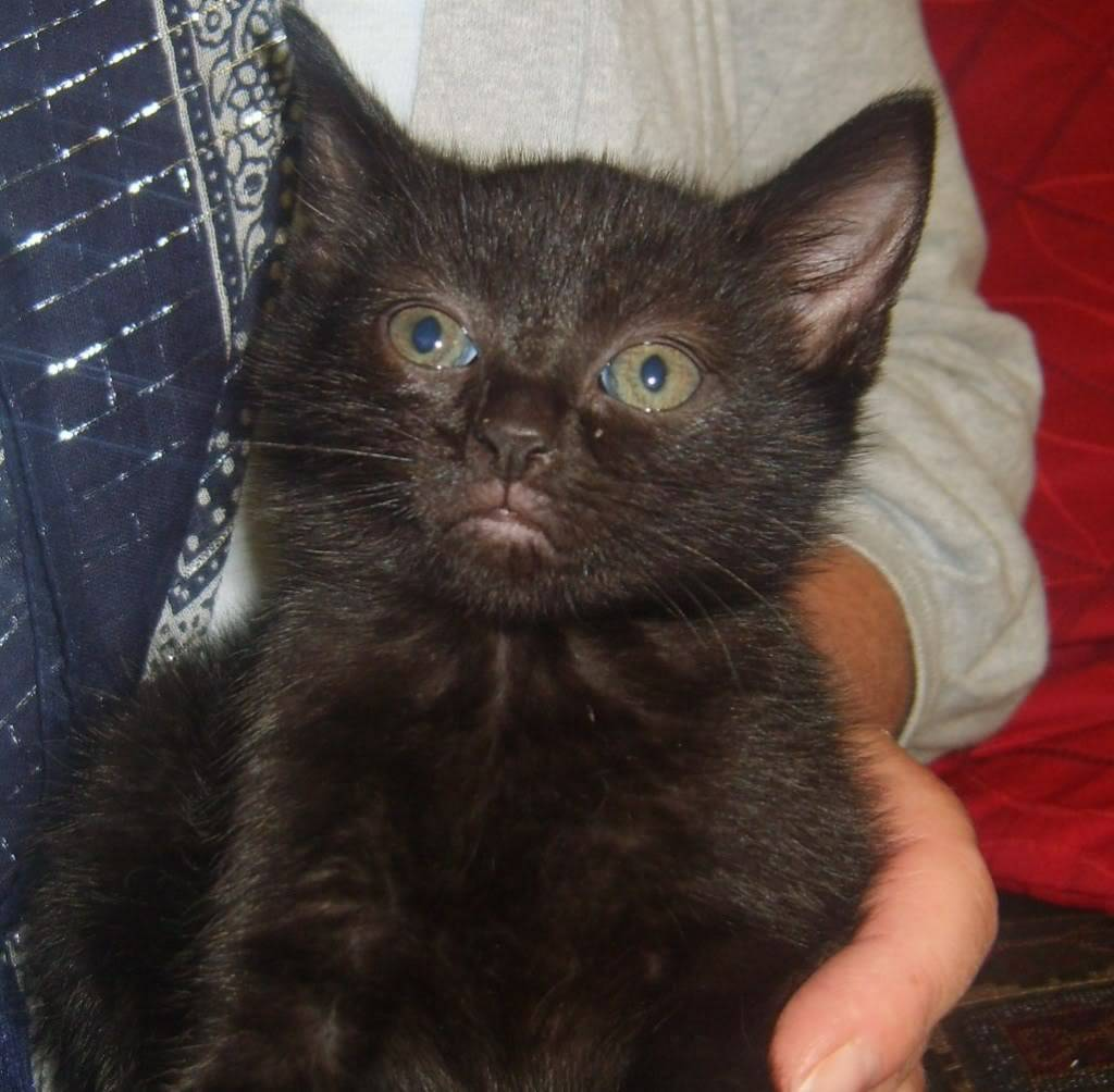 Minstrel and Mel 8week old kittens fostered by Four Paws Animal Rescue (South Wales)  S8000366