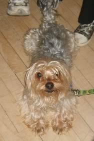 Raphael, 3yr old Yorkie fostered by Four Paws Animal Rescue (South Wales)  S8000161