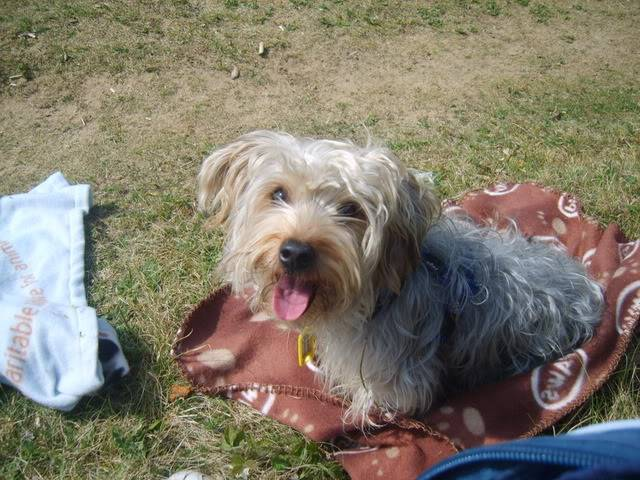 Raphael, 3yr old Yorkie fostered by Four Paws Animal Rescue (South Wales)  S8000304