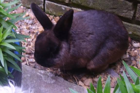 Smokey a gorgeous short haired Rabbit fostered by Four Paws Animal Rescue (South Wales)  S8000260