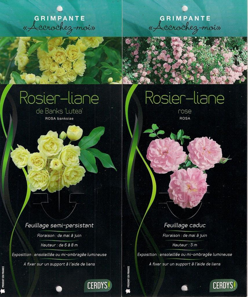 Feuillage des rosiers (caduc, persistant ou semi-persistant) Rosiers%20caducs0001_zpsof53hexf