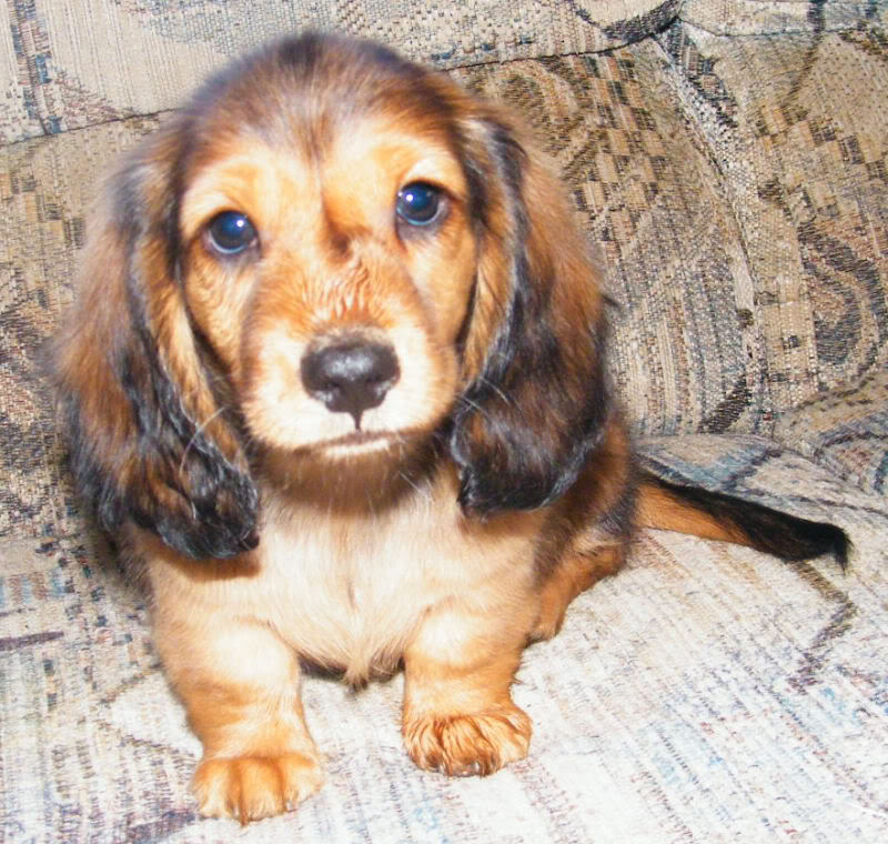 Long Hair Red boys available - 8 Week Old Pictures Billy3