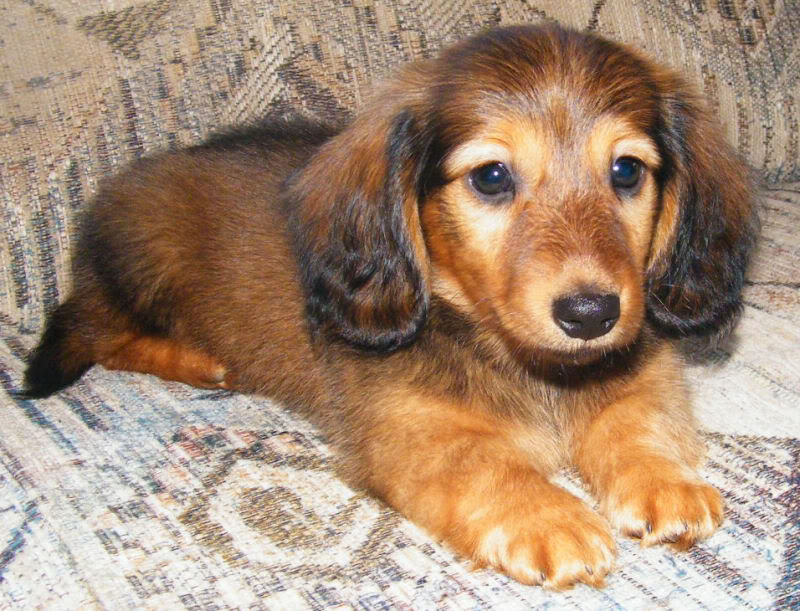 Long Hair Red boys available - 8 Week Old Pictures Bobby2