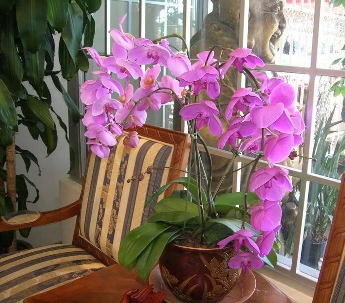 Kỹ thuật trồng và chăm sóc hoa phong lan HoaLan_Stockton