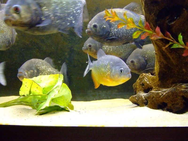 Our old piranha tanks..!! RedsnPiraya010
