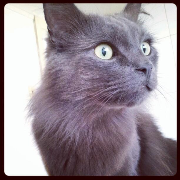 South African Nebelung? Cat
