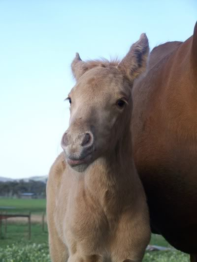 Palomino filly QHxTB 100_7524