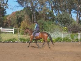 Eventing TB mare P1016099