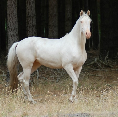Cremello Mare Snow20121