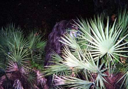 FEB. 25, 2010 : FLORIDA SKUNK APE Skunkape