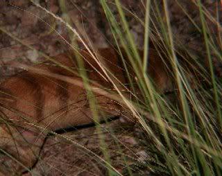 FEB. 27, 2010: THYLACINE? Thylacine