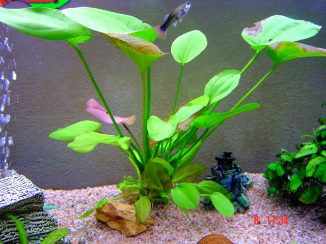 Echinodorus harbich Echinodorusharbich