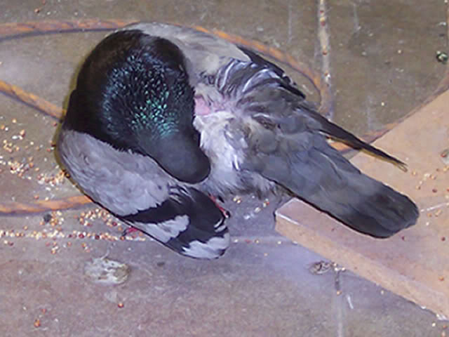 pigeon with injured wing Back1