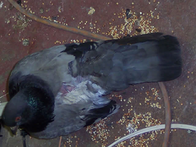 pigeon with injured wing Back3