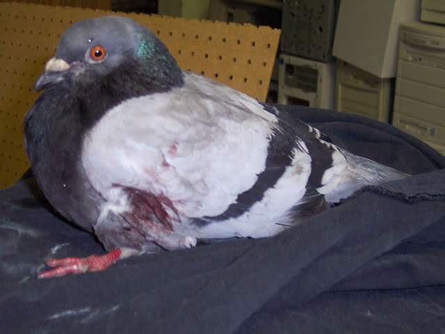 pigeon with injured wing Badwing2