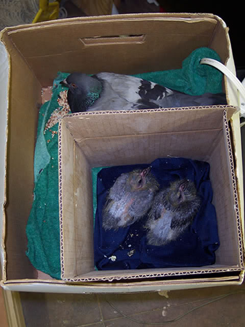 pigeon with injured wing Rnbabys2