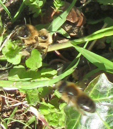 Quel est cet insecte? + profondeur des nids des solitaires IMG_0661_zpseogv4kfw