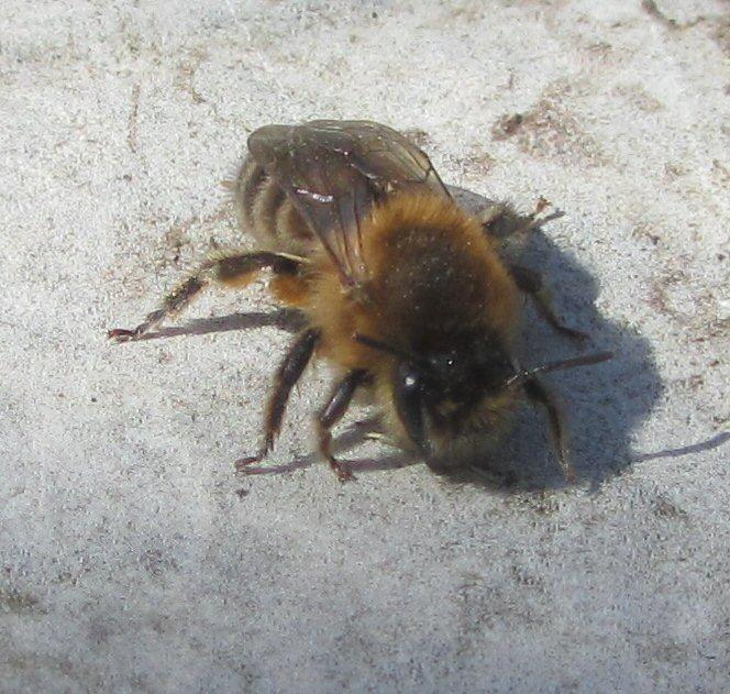 Quel est cet insecte? + profondeur des nids des solitaires IMG_0670_zps1qbdlrjd