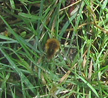 Quel est cet insecte? + profondeur des nids des solitaires IMG_0675_zpsnw496nki