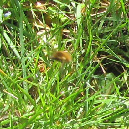 Quel est cet insecte? + profondeur des nids des solitaires IMG_0676_zpskgyvkqy2