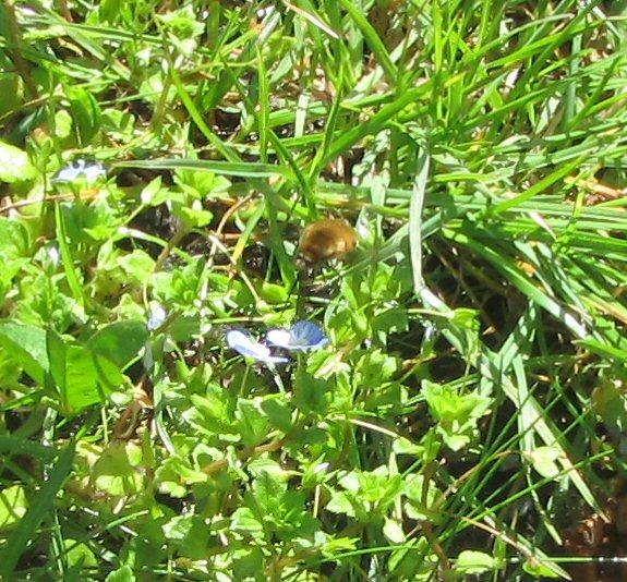 Quel est cet insecte? + profondeur des nids des solitaires IMG_0677_zps51nzzpyu