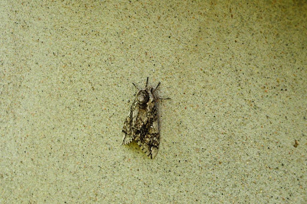papillon  Papillon_zps263a1e21
