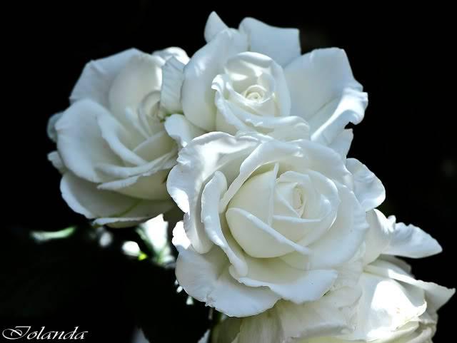 Los rosales de Gom - Página 4 _DSC7019copia