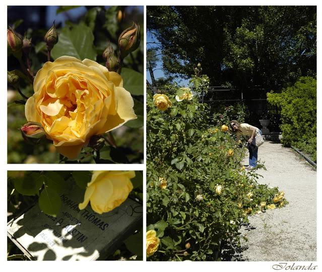 Un sueño.........Mil rosas en mi Jardin _DSC5831comcopia
