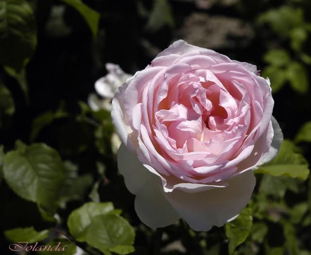 Los rosales de Gom - Página 4 _DSC6113copia