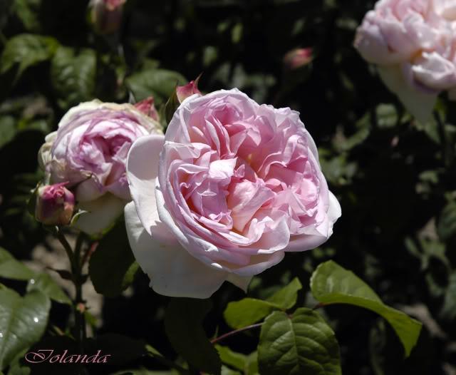 Los rosales de Gom - Página 4 _DSC6114copia
