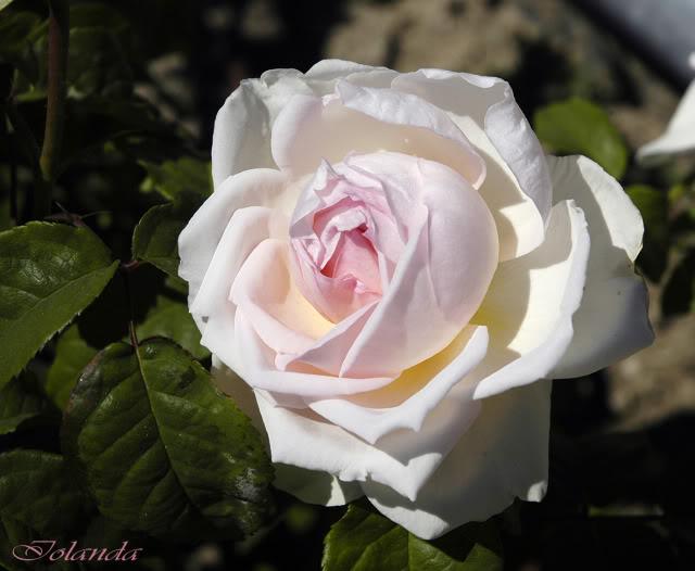 Los rosales de Gom - Página 4 _DSC6116copia