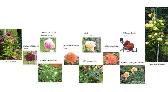 Un sueño.........Mil rosas en mi Jardin - Página 2 Opcionesrosaledatrana-1