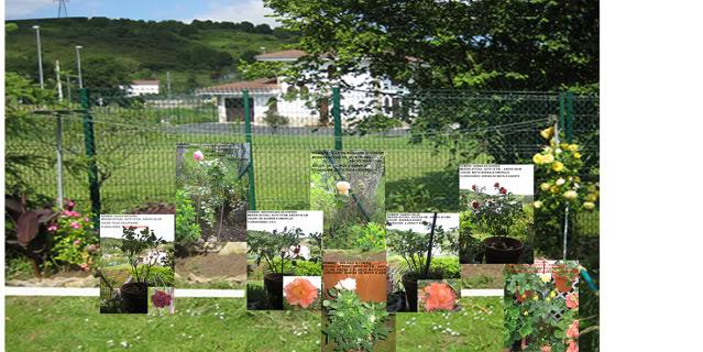 Un sueño.........Mil rosas en mi Jardin - Página 2 Opcionesrosaledatrana01