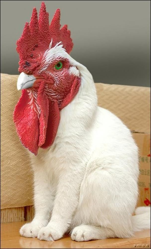 Picture & Video Thread  Rooster_cat_zpsb1a28d62