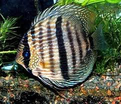 December Fish of the Month Wild Caught Heckel Discus Wilddiscus