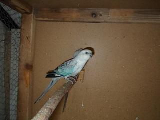 Pevajući papagaj(Psephotus  haematonotus) - Page 10 SAM_6934_zpsmiqkgpu8