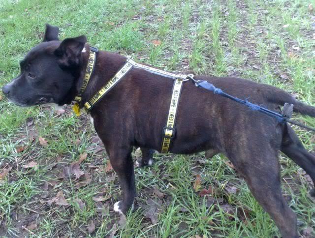CHUNKY - 6YR OLD APPROX- MALE STAFFY- DOG FRIENDLY Chunky
