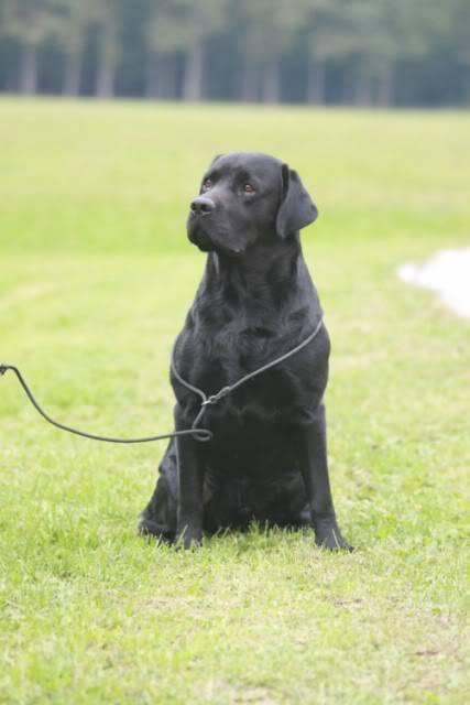 PARENJE!!!! Labrador Retriver IMG_1769640x480