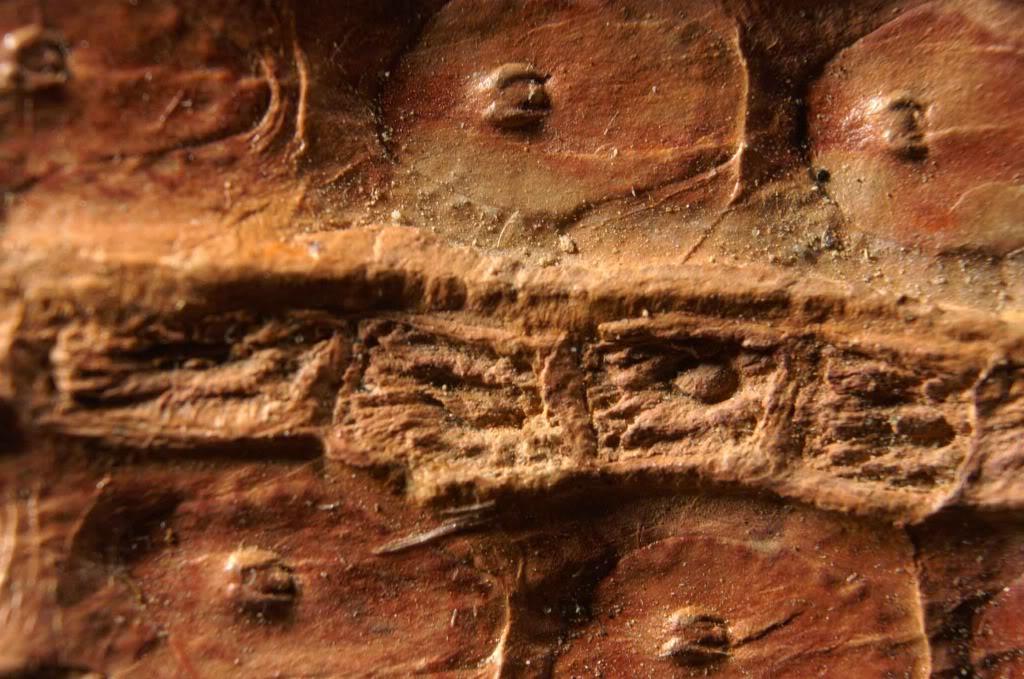 Sigillaria et zone d'insertion des sigillariostrobus PICT0107