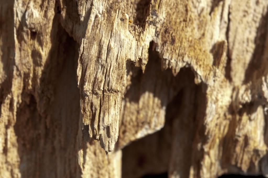 Glyptostrobus bois fossile de Hoegaarden Hoegaarden-2