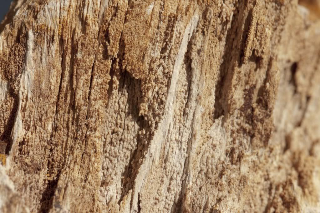 Glyptostrobus bois fossile de Hoegaarden Hoegaarden