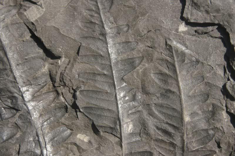 Lonchopteris rugosa Loncho-2800x600