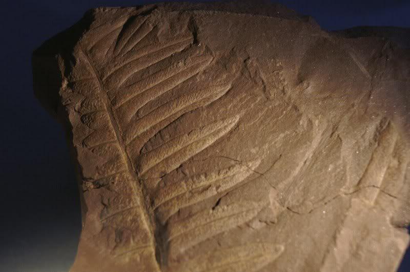 Lonchopteris rugosa Loncho-3800x600