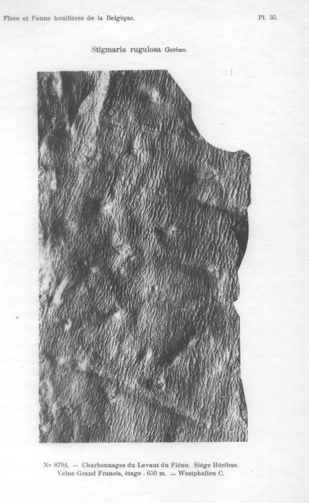 Stigmaria Brongniart , 1822 .  Stigmaria