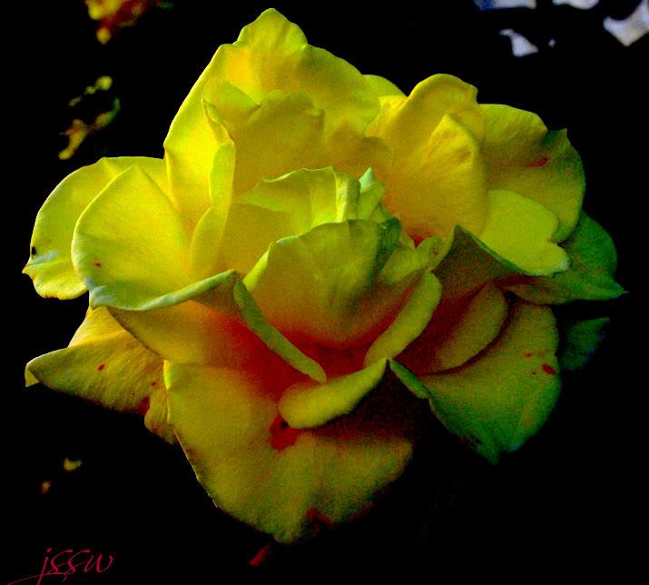 love rose flower - Page 2 IMGP1165